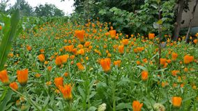 Fleurs oranges Photo libre de droits