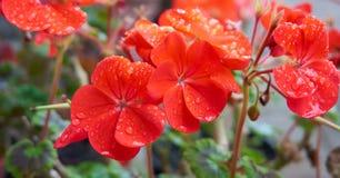 Fleurs oranges avec des gouttelettes d'eau Images libres de droits