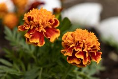 Fleurs oranges avec les lames vertes image libre de droits