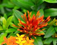 Fleurs oranges d'ixora ou de transitoire images libres de droits