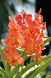 Fleurs oranges d'orchidée Photo libre de droits