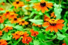 Fleurs oranges dans le jardin Photographie stock