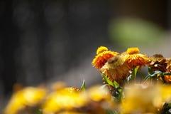 Fleurs oranges dans le lit de fleur Photos libres de droits