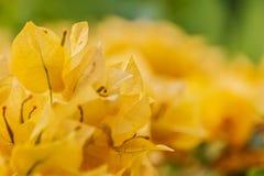 Fleurs oranges de bouganvillée Images libres de droits