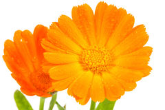Fleurs oranges de calendula Image libre de droits