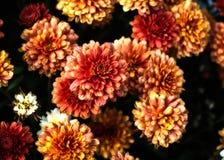 Fleurs oranges de chrysanthemum Photographie stock