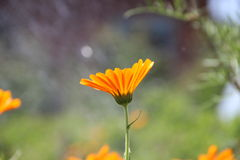 Fleurs oranges de floraison photographie stock libre de droits