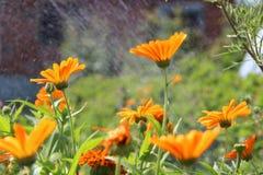 Fleurs oranges de floraison Image stock