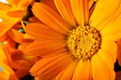 Fleurs oranges de gerber Photographie stock libre de droits
