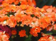 Fleurs oranges de Kalanchoe Image libre de droits