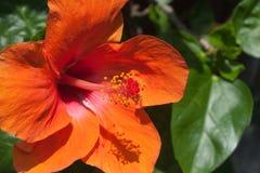 Fleurs oranges de ketmie Photo libre de droits