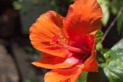 Fleurs oranges de ketmie Photographie stock