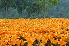Fleurs oranges de lis avec des arbres Images libres de droits