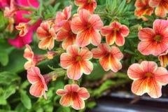 Fleurs oranges de pétunia Image stock