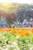 Fleurs oranges de ressort Images libres de droits