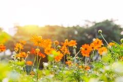Fleurs oranges de ressort Photographie stock libre de droits