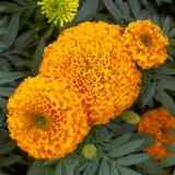 Fleurs oranges de souci de bac Photo libre de droits