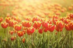 Fleurs oranges de tulipe Photos libres de droits