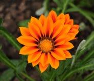 Fleurs oranges en parc Images stock