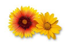 Fleurs oranges et jaunes de dahlia photographie stock