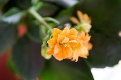 Fleurs oranges et jaunes Kalanchoe Image stock