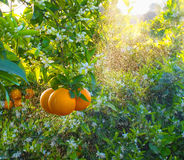 Fleurs oranges et oranges Valencian Ressort Photographie stock libre de droits