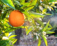 Fleurs oranges et oranges Valencian Ressort Photo stock
