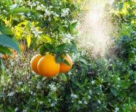 Fleurs oranges et oranges Valencian Ressort Photographie stock