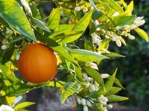Fleurs oranges et oranges Valencian Ressort Photos libres de droits