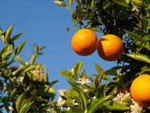 Fleurs oranges et oranges Valencian Ressort Images stock