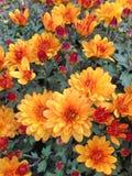 Fleurs oranges et rouges d'un Chrysant sphérique photo libre de droits