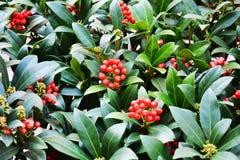 Fleurs oranges rouges d'hiver, pétales, fond naturel, beauté de jardin Photographie stock libre de droits