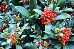 Fleurs oranges rouges de bel hiver, pétales, fond naturel, beauté de jardin Images stock