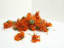 Fleurs oranges sèches de calendula Image stock