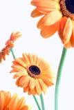 Fleurs oranges sur le blanc (gerbera) photographie stock