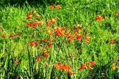 Fleurs oranges sur un fond d'herbe verte Photographie stock libre de droits