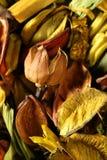 Fleurs orientales normales sèches, jaune-orange Photos libres de droits
