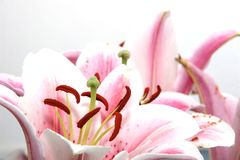 Fleurs ornementales Image libre de droits