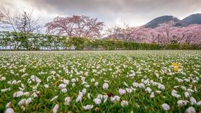 Fleurs ou fleurs de cerisier et arbre roses, p?tales de fleurs de cerisier sur l'au sol d'herbe verte images libres de droits