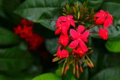 Fleurs ou ixora roses de transitoire dans le jardin image stock