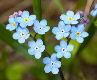 Fleurs oublier--dans la forme de coeur. Photos libres de droits