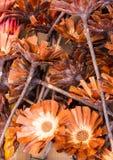 Fleurs ouvertes de sugarbush Image libre de droits