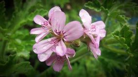 Fleurs parfumées de géranium de rose de rose photographie stock libre de droits