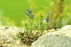 Fleurs parmi les pierres grises Photos stock