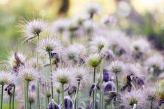 Fleurs pelucheuses Photographie stock libre de droits
