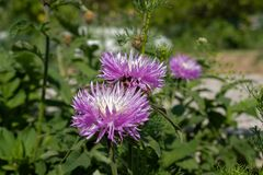 Fleurs pelucheuses bleues avec les coeurs l?gers sur le fond des feuilles vertes autour du plan rapproch? image stock