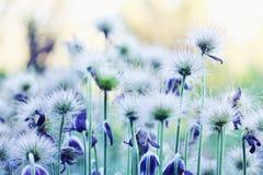 Fleurs pelucheuses de hellebore Photos libres de droits