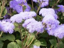 Fleurs pelucheuses pourpres d'ageratum photo stock