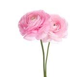 Fleurs persanes de renoncule photo stock