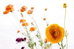 Fleurs persanes oranges de renoncule Photographie stock